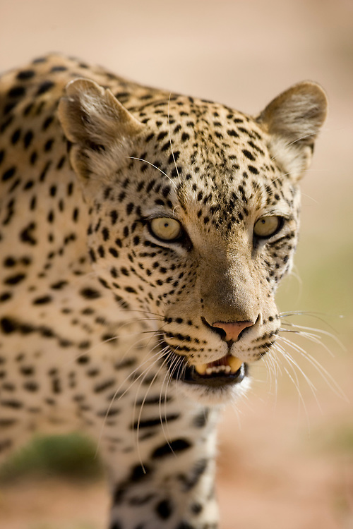 South Africa, Kgalagadi Transfrontier Park, Adult Female Leopard (Panthera pardus) in Kalahari Desert