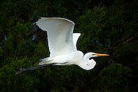 Great Egret in Flight in Merritt Island Wildlife Refuge. Image taken with a Nikon D3x and 500 mm f/4 VR lens (ISO 100, 500 mm, f/4, 1/2000 sec).