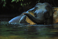 A Borneo Pygmy Elephant bathing in a river.