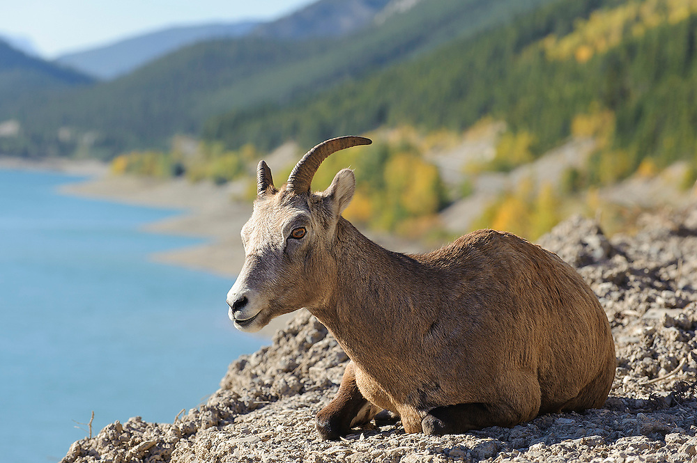 A Bighorn Ewe sits above an alpine lake in the Northern Rockies.