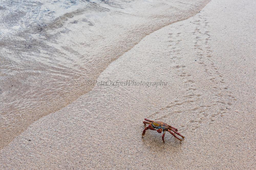 Sally Lightfoot Crab (Grapsus grapsus)<br /> Cerro Dragon, Santa Cruz<br /> Galapagos<br /> Ecuador<br /> South America