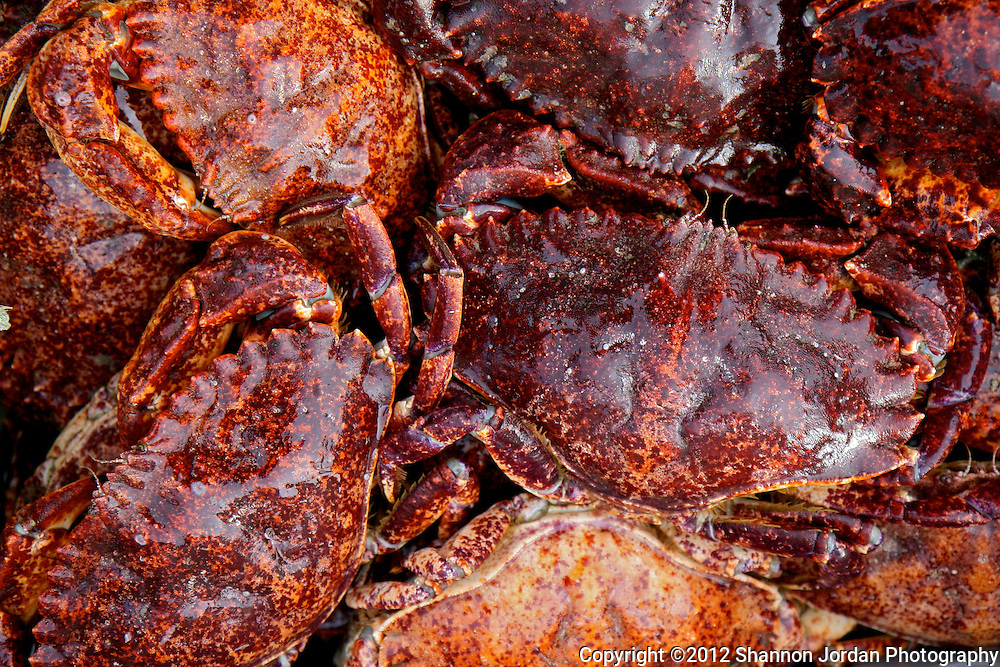 A bucket of Red rock crabs from the channel Islands waits to be sold in Santa Barbara, California.