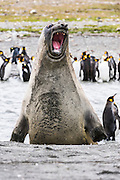 Southern Elephant seal (M. leonina), St Andrews Bay, South Georgia Island, South Atlantic Ocean