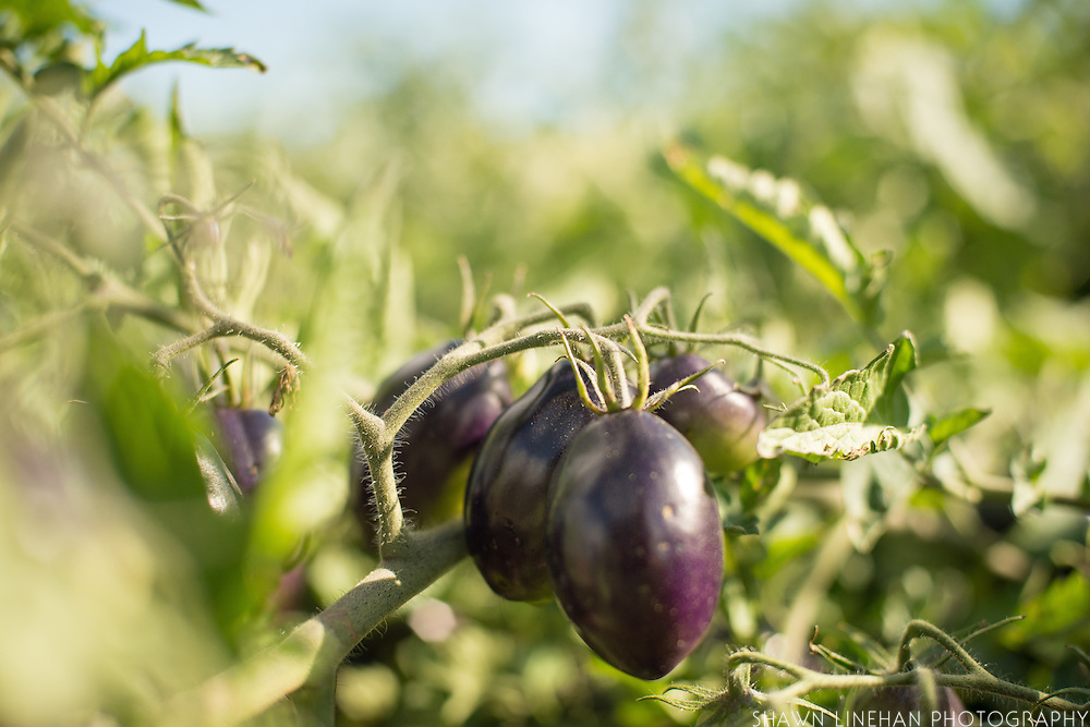 The indigo tomato that Jim Myers has bred produceds a purplish color as it ripens.