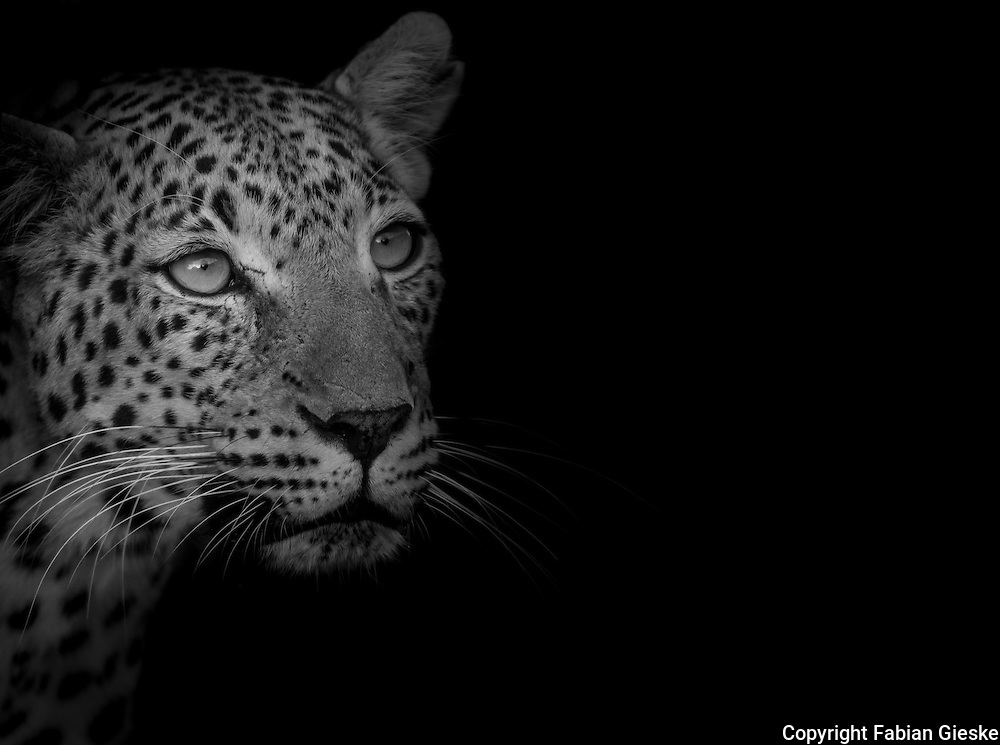 Botswana, Kalahari, private game reserve, captive leopard; leopards are waiting to be released in the wild by the Wildlife Department of Botswana
