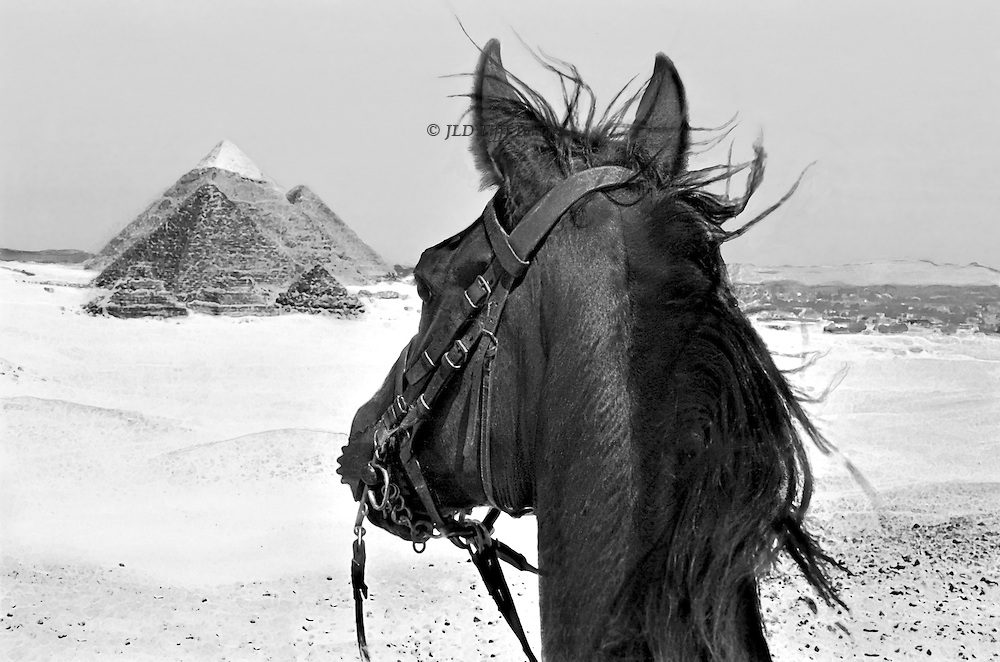 Horse's head alertly gazing at the Giza pyramids in the desert as seen by the rider.  Marble-capped peak of Chephren stands out.  In the distance, a dark strip indicates the Nile valley and Cairo.  The horse's ears are pricked forward and mane flies in the wind.