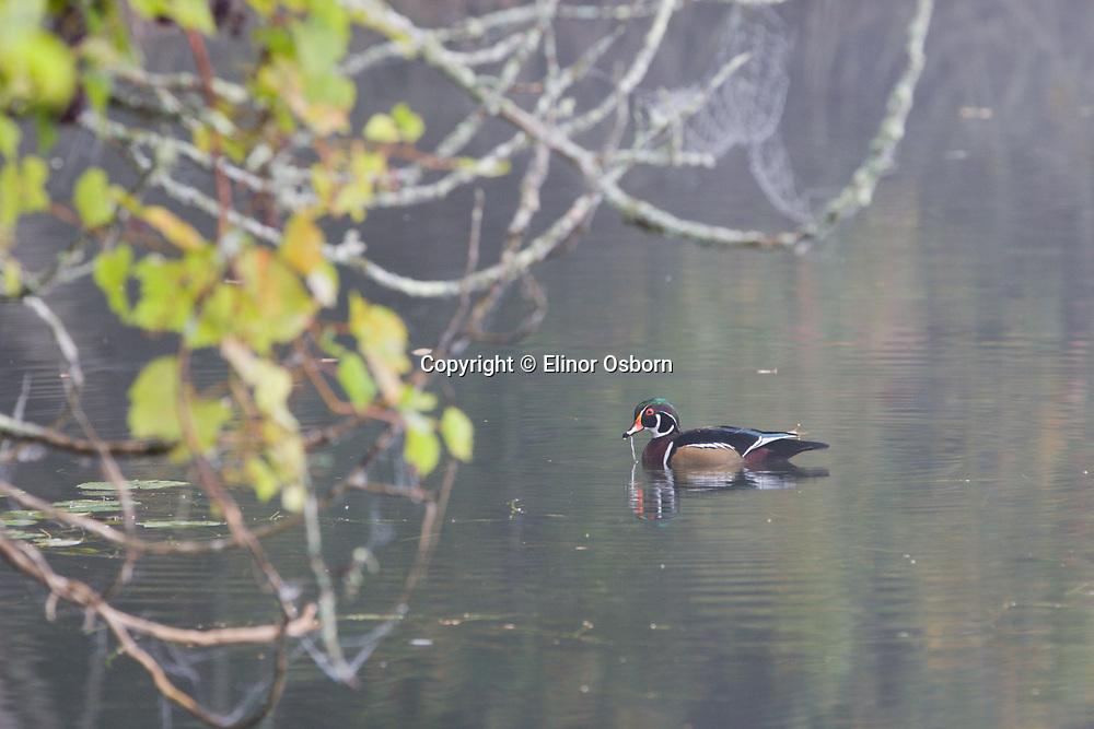 male wood duck in fog