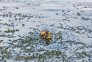 A picture of a baby duckling swimming in a mountain lake.<br />