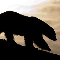 Norway, Svalbard, Spitsbergen Island, Silhouette of adult male Polar Bear (Ursus maritimus) walking on mountainous island in Fuglefjorden lit by midnight sun