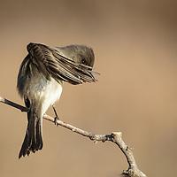 Sayornis phoebe, Texas