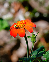 Bumblebee on a Mexican Sunflower. Image taken with a Fuji X-T3 camera and 200 mm f/2 OIS lens