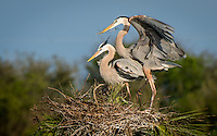 A male great blue heron presents a stick to his mate on their nest