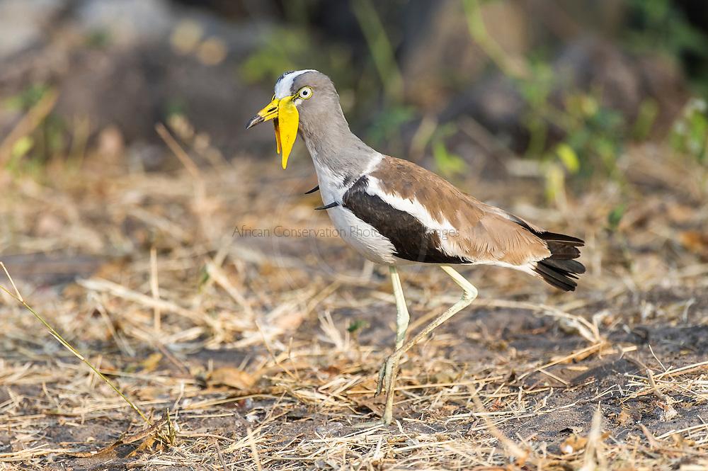 White-Crowned Lapwing, Chobe River, Kasane, Botswana.