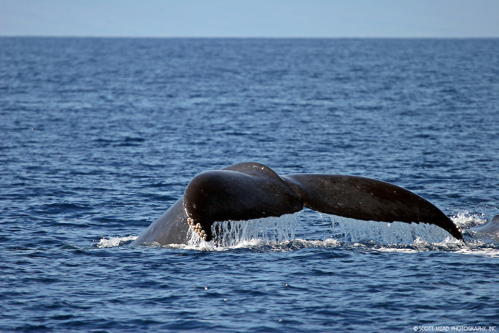Pacific Humpback Whale off the coast of Maui Hawaii in the Central Pacific Ocean, Tail