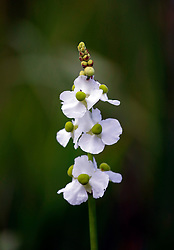 01 June 2015. Jean Lafitte National Historic Park, Louisiana.<br /> SAGITTARIA LATIFOLIA – Wapato, Common Arrowhead, Duck-potato, Broadleaf Arrowhead, Indian Potato flower at the Barataria Preserve wetlands south or New Orleans. <br /> Photo©; Charlie Varley/varleypix.com