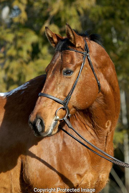 appaloosa gelding portrait