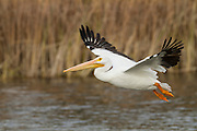 Despite being up to 5 feet in body length, American White Pelicans are graceful fliers, gliding along the surface of the water with ease while they search for food.