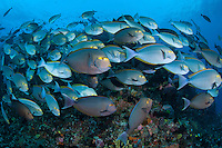Schooling Surgeonfishes along a healthy reef slope<br /> <br /> Shot in Indonesia