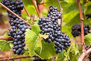 Europe, Germany, Rhineland-Palatinate, Eifel region,vineyard at the river Ahr near Dernau, red wine.<br /> <br /> Europa, Deutschland, Rheinland-Pfalz, Eifel, Weinberg an der Ahr bei Dernau, rote Weintrauben.