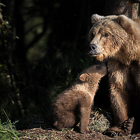 A brown bear mother sits on guard while her spring cub gives her some love. Katmai National Park, Alaska.