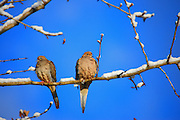 IDAHO. Boise. Morrison-Knudsen Nature Center. Mourning Doves (Zenaida macroura) perching in bare snowy tree branches in winter. February 2006. #bd060100