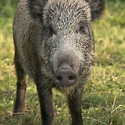 Boars wild but living in a village in Poland