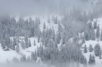 Snow covered trees in winter fog, North Cascades Washington