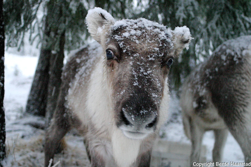Young reindeer in snow.