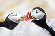 "Two Atlantic Puffins (Fratercula arctica) engage in social bonding by ""beaking"" on Seal Island, Maine. Puffins were successfully reintroduced to the island through Audubon's Project Puffin."