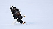 A bald eagle snares a fish on the frozen Illinois River near Chillicothe, Ill.