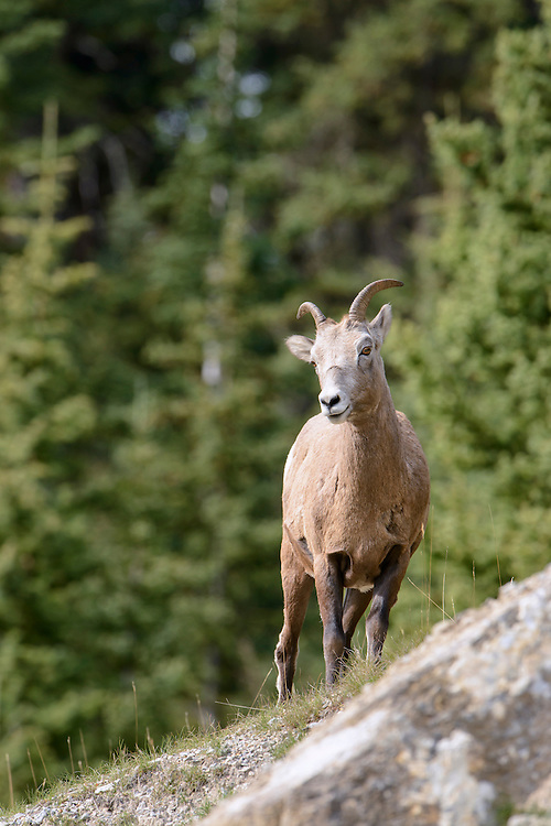 Rocky Mountain Bighorn Ewe - Ovis canadensis - Northern Rockies