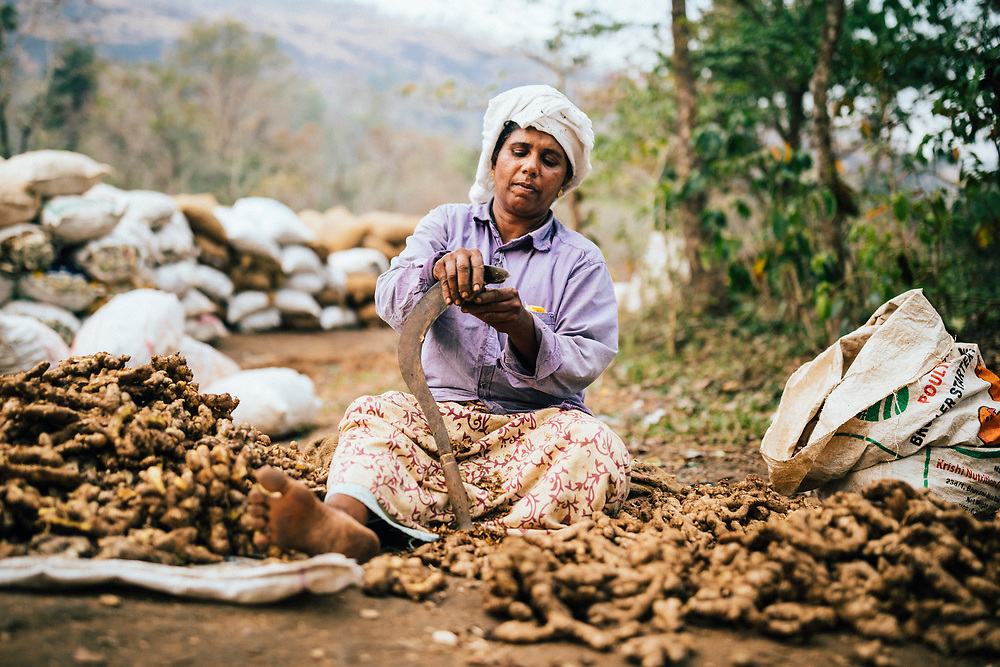 Neriamangalam, India -- February 17, 2018: A woman cleans ginger at a drying field near the banks of the Periyar river in Kerala.