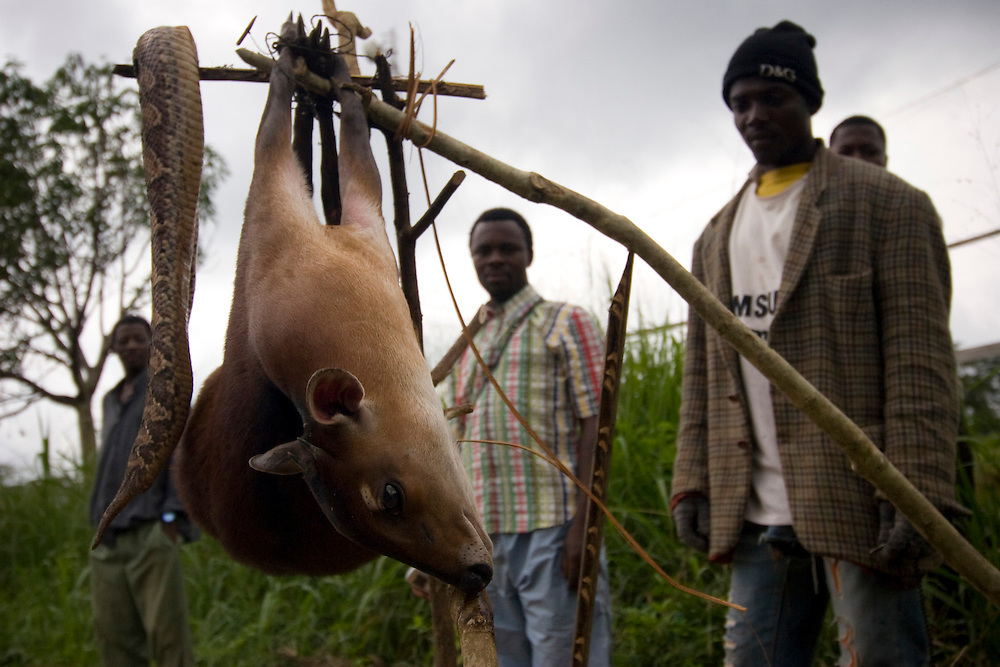 Sangmelima, Cameroon - June 20, 2008 - Men sell class B bushmeat along the road from Yaounde to Sangmelima. Hunters require permits to hunt and sell class B, but often clandestine hunters like these men aren't caught by the authorities...Photos by Will Nunnally / Will Nunnally Photography