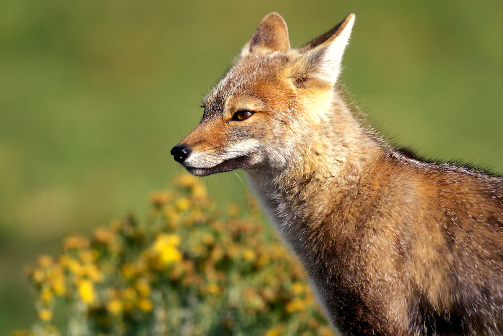 Chile, Torres del Paine National Park, Patagonian Gray Fox (Pseudalopex griseus) in alpine meadow