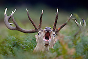 © Licensed to London News Pictures. 29/09/2013. Richmond, UK A deer stag roars as he walks in the early morning at Richmond Park on September 29th 2013 in London, England. Autumn sees the start of the 'Rutting' season where the large deer stags can be heard roaring and barking in an attempt to attract females known as bucks. The larger males can also be seen clashing antlers with rival males.. Photo credit : Stephen Simpson/LNP