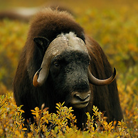 Muskox posing in fall tundra near the Dalton Highway in Alaska.