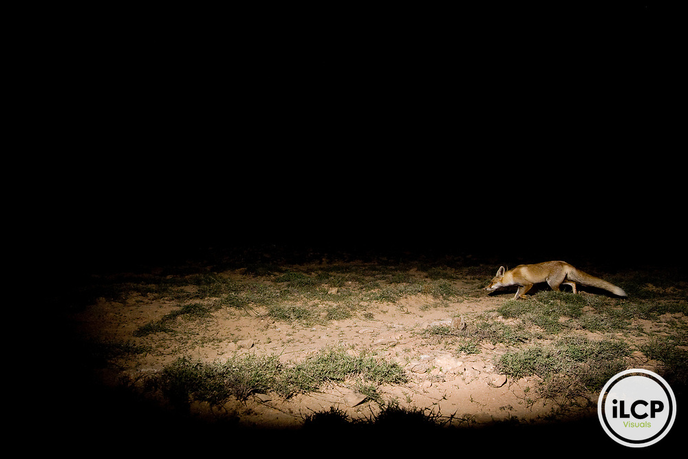 Red Fox (Vulpes vulpes) hunting at night, Hawf Protected Area, Yemen