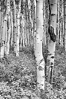 A forest of aspen trees in Southwestern Colorado