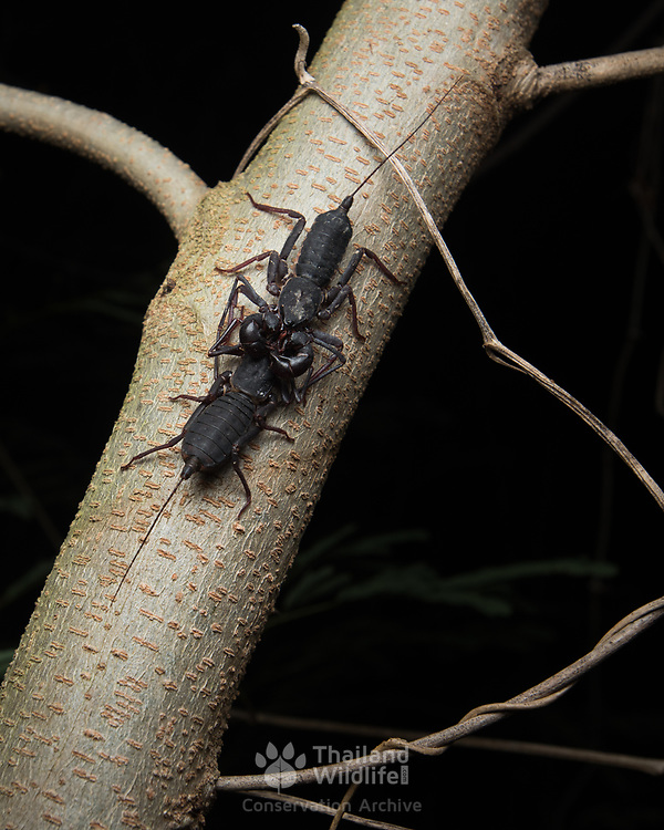 Whip Scorpions (Thelyphonida) in Kaeng Krachan district, Thailand