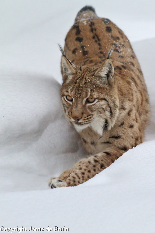 A Lynx is walking through the snow in the wildlife park of the Bavarian Forest.