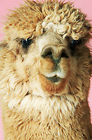 Alpaca on pink background close-up of head front view
