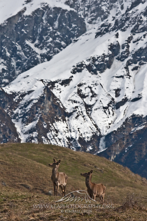 Red Deer, New Zealand