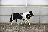Class 11 - Inhand Paints, Spots, Palominos, Duns & Roans, Equifest Inhand Piebald and Skewbald