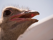 Camel and Ostrich Races