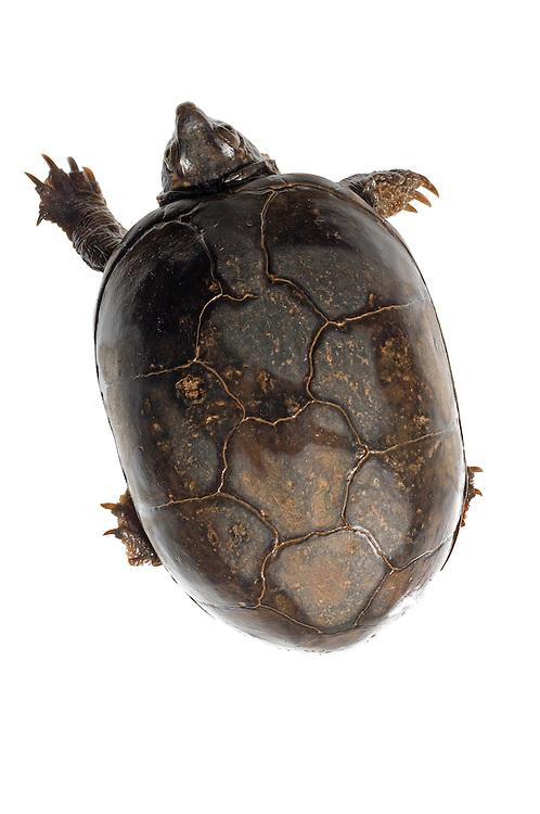 Eastern Mud Turtle (Kinosternon subrubrum)