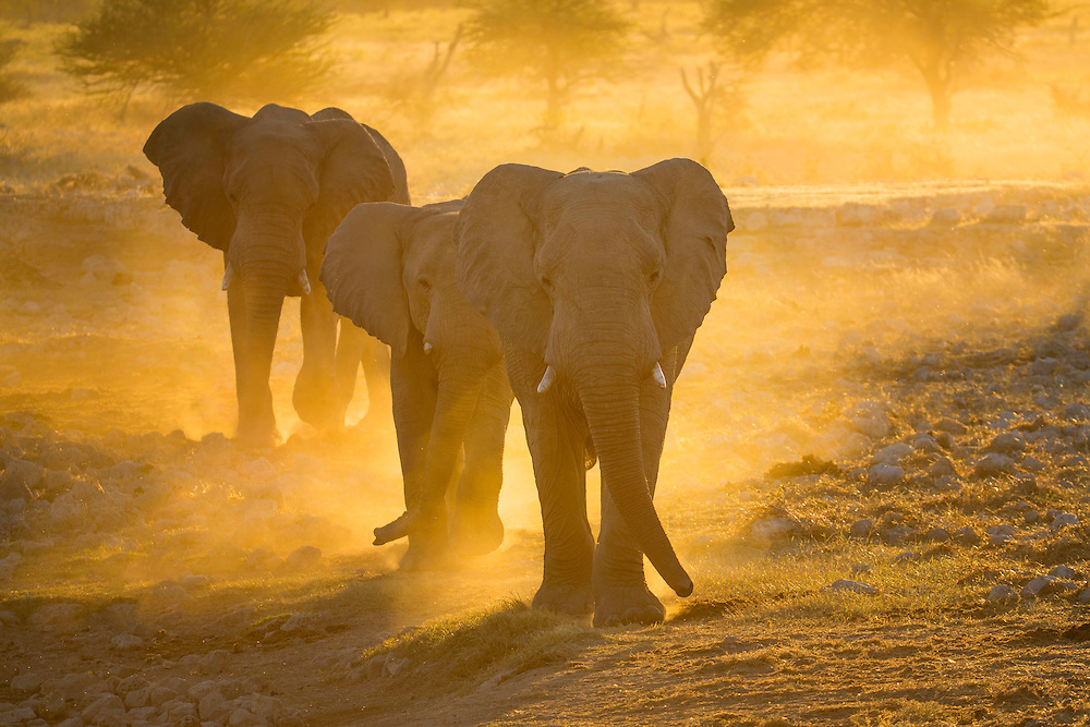 A trio of elephants head to a water hole at sunset, Etosha National Park, Namibia.