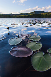Water lilies in Lang Pond in Maine's Northern Forest. Cold Stream watershed. Parlin Pond Township.