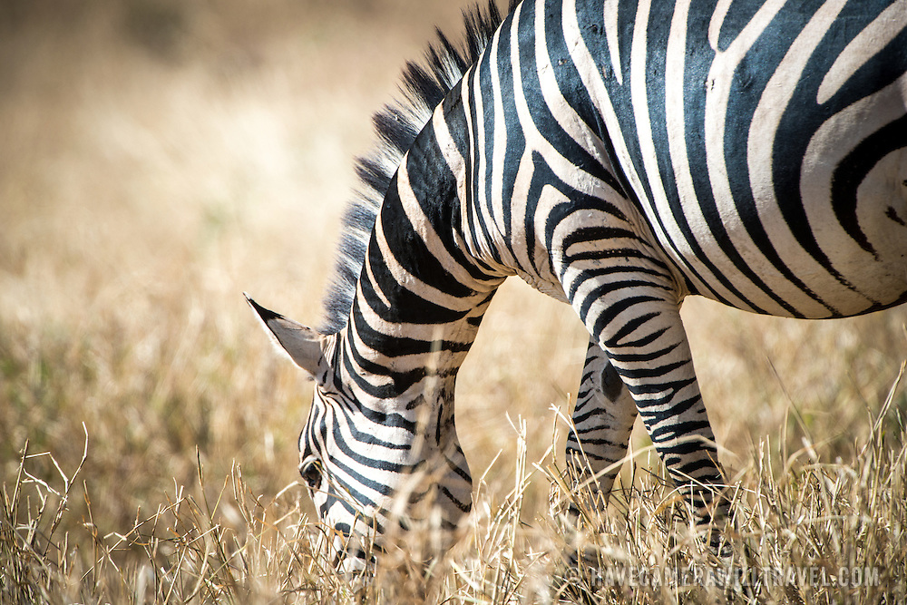 A zebra grazes at Tarangire National Park in northern Tanzania not far from Ngorongoro Crater and the Serengeti.
