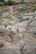 A colorful band of wild horses navigate a steep rocky cliff inside Theodore Roosevelt National Park.