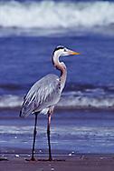 Great Blue Heron (Ardea herodias) Aransas National Wildlife Reserve, Texas